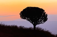 Candelabra Tree, sunrise, Ngorongoro Crater, Tanzania Fine-Art Print