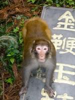 China, Zhangjiajie National Forest, Rhesus Macaque Fine-Art Print