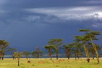 Herd of male Impala, Lake Nakuru, Lake Nakuru National Park, Kenya Fine-Art Print