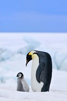 Parent and chick Emperor Penguin, Snow Hill Island, Antarctica Fine-Art Print