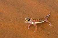 Desert Gecko, Namib Desert, Namibia Fine-Art Print