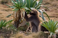 Gelada Baboons With Giant Lobelia, Simen National Park, Northern Ethiopia Fine-Art Print