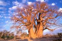 Baobab, Okavango Delta, Botswana Fine-Art Print