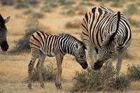 Burchell's zebra foal and mother, Etosha National Park, Namibia Fine-Art Print