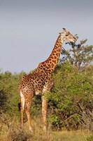 Giraffe, Giraffa camelopardalis, Maasai Mara wildlife Reserve, Kenya. Fine-Art Print