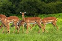 Herd of Impala, by Chobe River, Chobe NP, Kasane, Botswana, Africa Fine-Art Print
