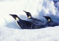 Emperor Penguins in Dive Hole, Antarctica Fine-Art Print