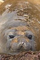 Antarctica, Aitcho Island, Southern elephant seals Fine-Art Print
