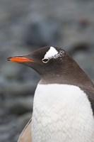 Antarctica, Aitcho Islands, Gentoo penguin, beach Fine-Art Print