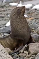 Antarctica, Cuverville Island, Antarctic fur seal Fine-Art Print