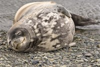 Antarctica, King George Island, Weddell seal Fine-Art Print