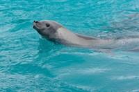 Antarctica, Pleneau Island, Crabeater seal Fine-Art Print