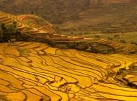 Farmers Plant Rice, Luchun, Yunnan, China Fine-Art Print