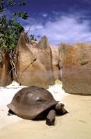 Aldabran Giant Tortoise, Curieuse Island, Seychelles, Africa Fine-Art Print
