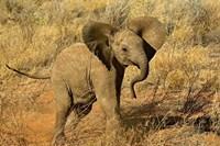 Baby African Elephant, Samburu Game Reserve, Kenya Fine-Art Print