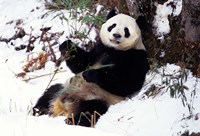 Giant Panda With Bamboo, Wolong Nature Reserve, Sichuan Province, China Fine-Art Print