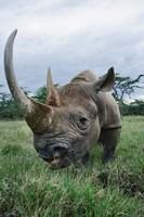 Black Rhinoceros, Kenya Fine-Art Print
