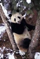 China, Giant Panda Bear, Wolong Nature Reserve Fine-Art Print