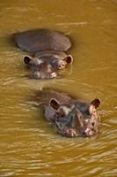 Hippopotamus in river, Masai Mara, Kenya Fine-Art Print