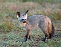 Bat-eared Fox, Serengeti, Tanzania Fine-Art Print