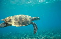 Hawksbill Turtle, Mayotte Island, Comoros, Africa Fine-Art Print