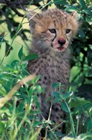 Cheetah Cub, Masai Mara Game Reserve, Kenya Fine-Art Print