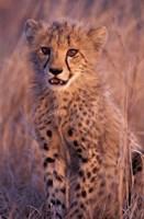 Cheetah, Phinda Reserve, South Africa Fine-Art Print