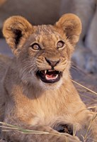 Close-Up of Lion, Okavango Delta, Botswana Fine-Art Print