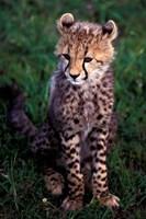 Africa, Kenya, Masai Mara Game Reserve. Cheetah Cub Fine-Art Print