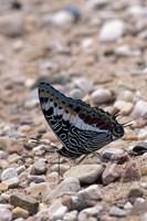 Zebra Butterfly, Gombe National Park, Tanzania Fine-Art Print