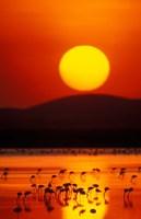 Flock of Lesser Flamingos Reflected in Water at Sunrise, Amboseli National Park, Kenya Fine-Art Print