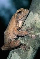 Grey Frog, Kruger NP, South Africa Fine-Art Print