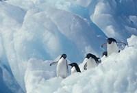 Adelie Penguins, Antarctica Fine-Art Print