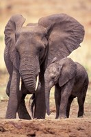 African Elephants, Tarangire National Park, Tanzania Fine-Art Print