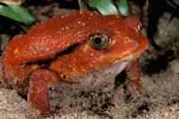 Africa, Madagascar. Tomato frog (Dyscophus antongili) Fine-Art Print