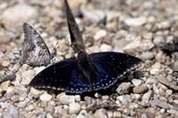 Black Butterfly, Gombe National Park, Tanzania Fine-Art Print