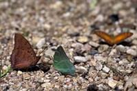 Three Butterflies, Gombe National Park, Tanzania Fine-Art Print