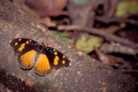 Resting Butterfly, Gombe National Park, Tanzania Fine-Art Print