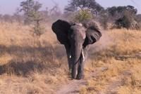 Elephant, Okavango Delta, Botswana Fine-Art Print