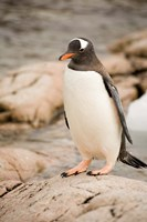 Antarctica. Adult Gentoo penguins on rocky shoreline. Fine-Art Print