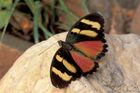 Orange/Yellow Butterfly, Gombe National Park, Tanzania Fine-Art Print