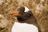 Fledgling Gentoo Penguin, Antarctica Fine-Art Print
