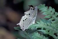 White Butterfly, Gombe National Park, Tanzania Fine-Art Print