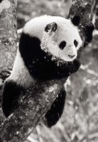 China, Sichuan, Giant Panda Bear, Wolong Reserve Fine-Art Print