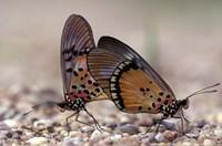 A pair of Butterflies, Gombe National Park, Tanzania Fine-Art Print