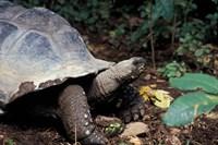 Closeup of Giant Tortoise, Seychelles Fine-Art Print