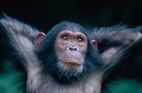 Female Chimpanzee Stretching, Gombe National Park, Tanzania Fine-Art Print