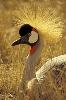 African Crowned Crane, South Africa Fine-Art Print