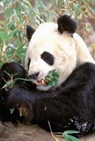 China, Wolong Nature Reserve, Giant panda bear Fine-Art Print