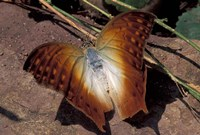 Detail of Butterfly Wings, Gombe National Park, Tanzania Fine-Art Print